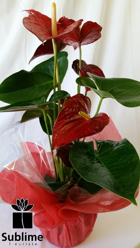 Plante d'anthurium SUBPLANT-008 - Sublime Fleuriste