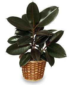 Ficus Elastica (Plante caoutchouc) SUBPLANT-011 - Sublime Fleuriste Granby